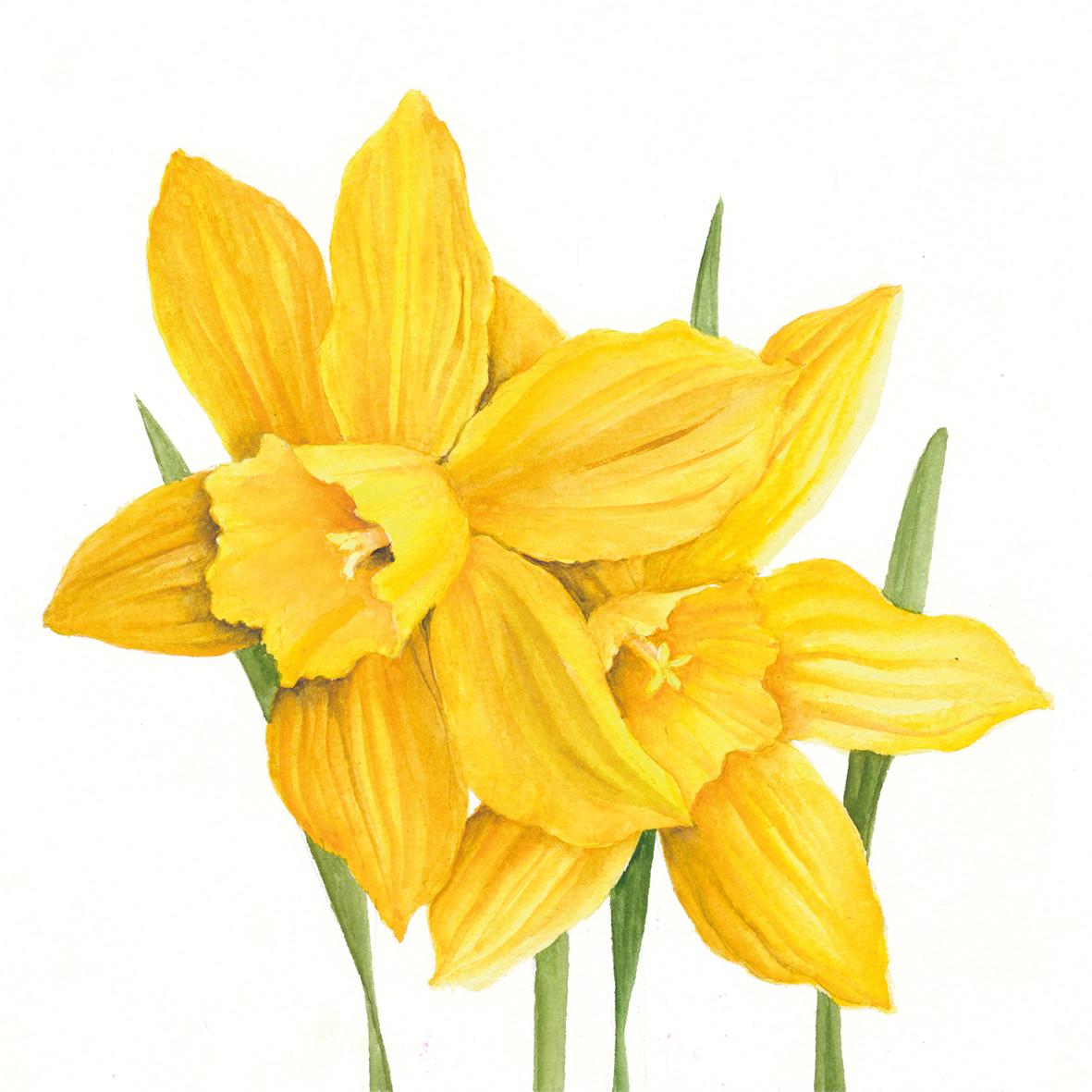 Daffodils 25x25 cm