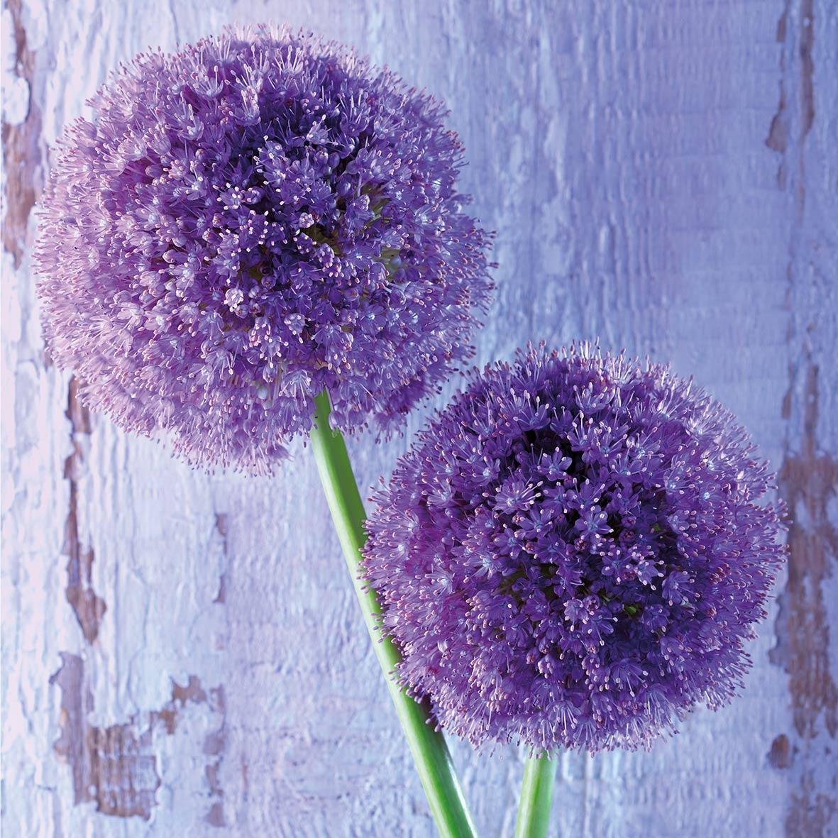 Purple Allium 33x33 cm