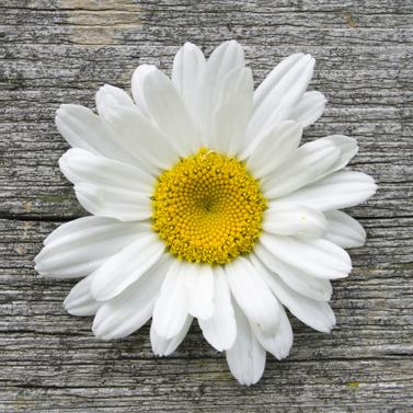 Daisy on Wood 33x33cm