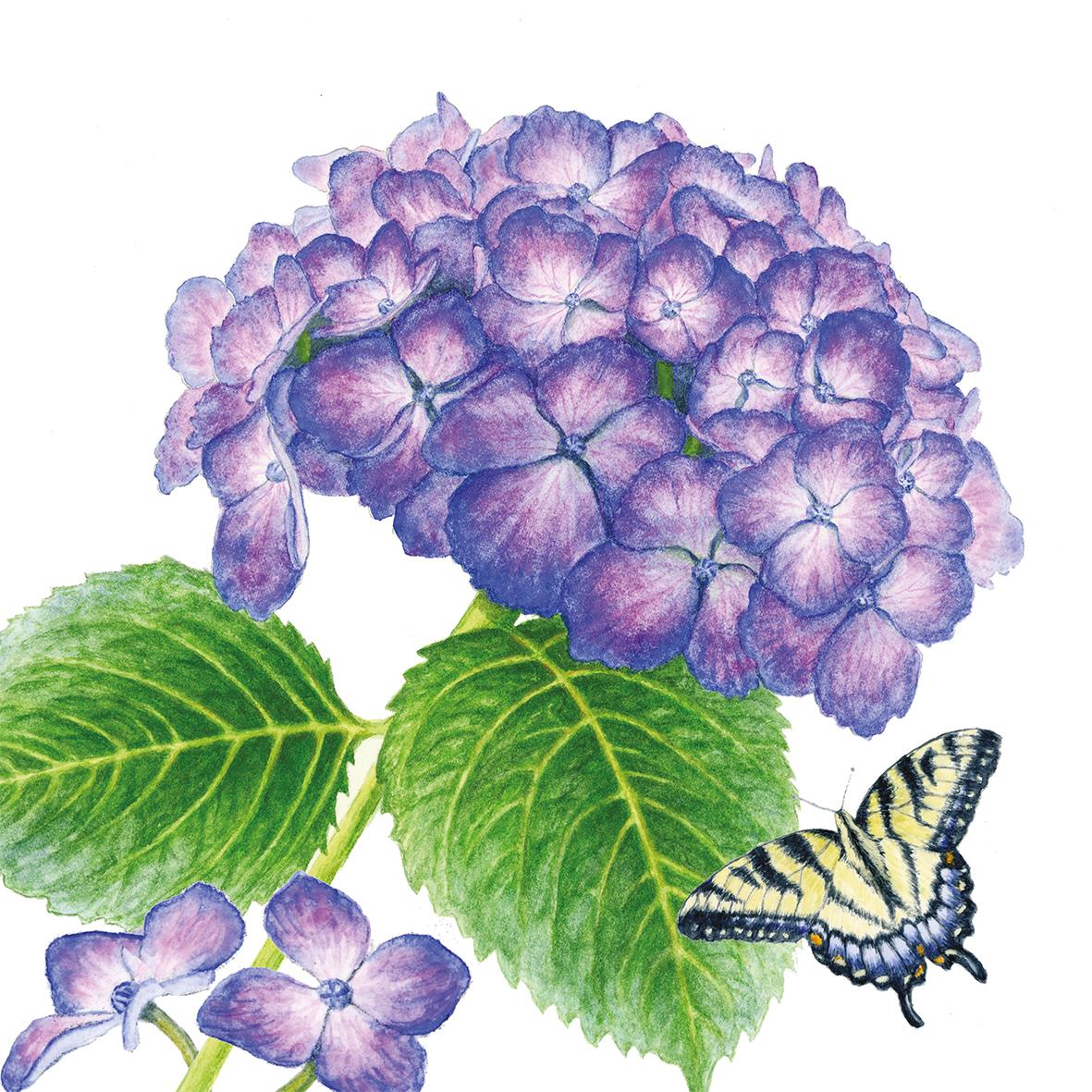 Hydrangea & Butterfly 33x33 cm