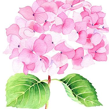 Hydrangea rosé 33x33 cm