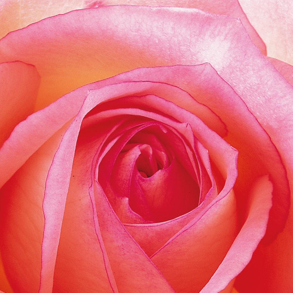 Rose 33x33 cm